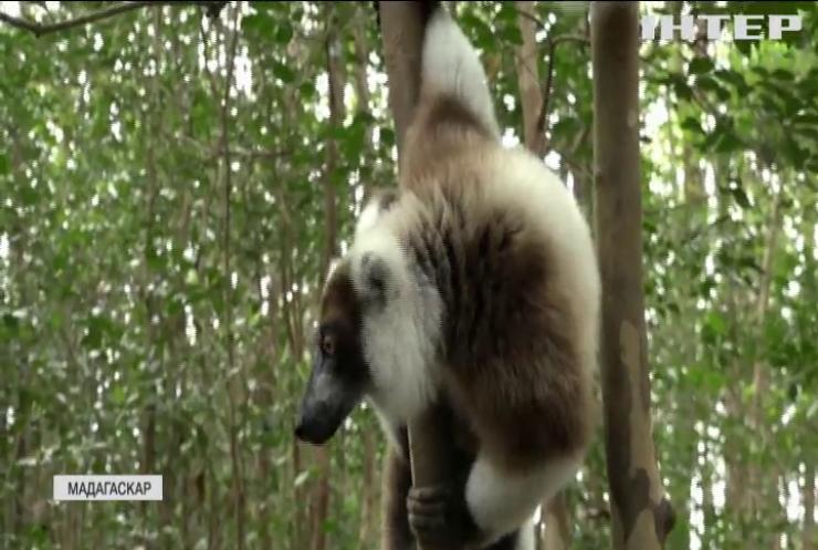 На Мадагаскарі туристів допустили до милування лемурами