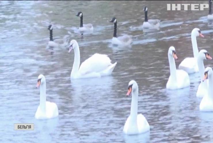 У Бельгії відправили на карантин знаменитих лебедів