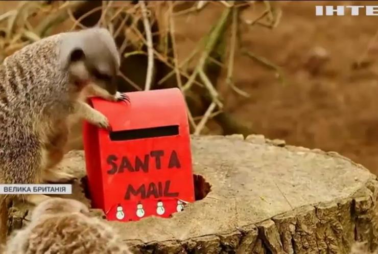 Сурикатам Лондонського зоопарку підготували подарунки до Різдва