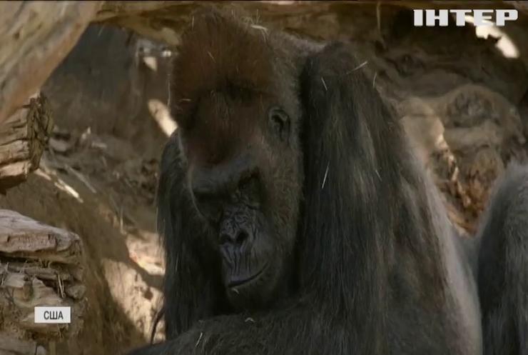 У зоопарку в Сан-Дієго горили захворіли на COVID-19