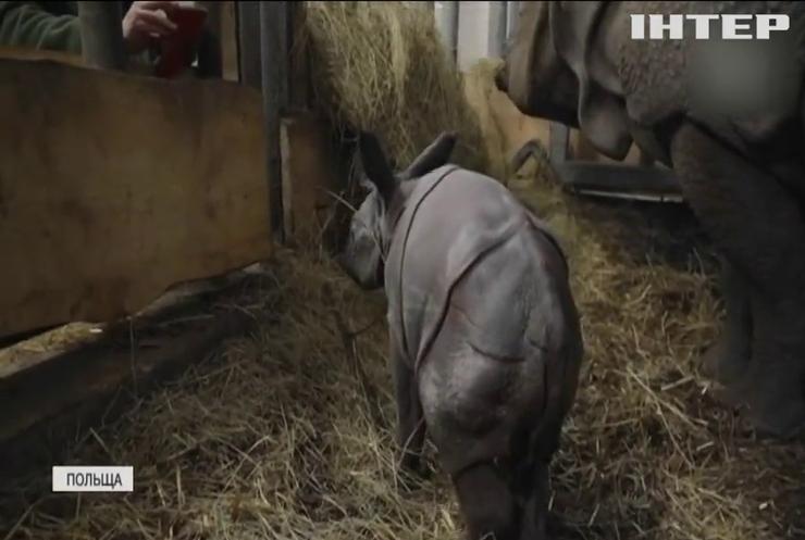 У Вроцлаві народилося дитинча носорога