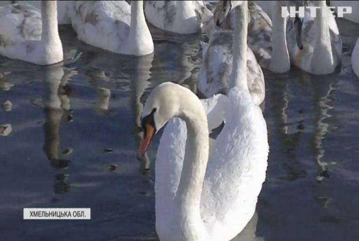 Пташиний рай: на Хмельниччину злітаються зимувати лебеді з усієї України