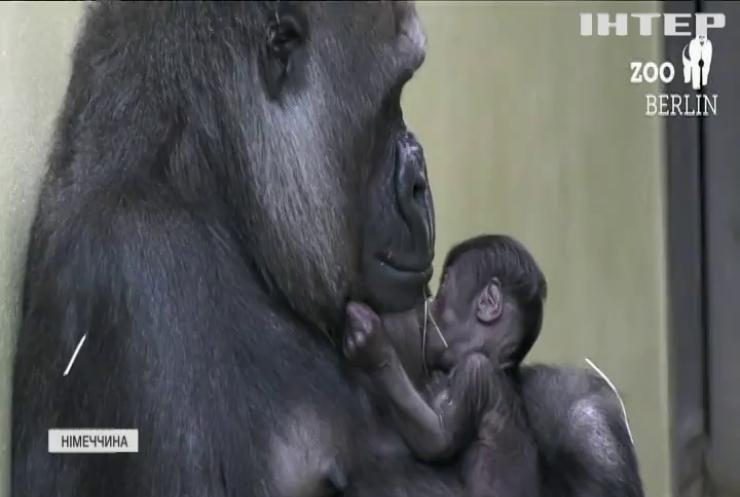 Горила з Берлінського зоопарку уперше стала мамою