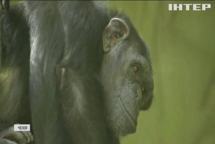 Мавпи у прямому ефірі: шимпанзе чеського зоопарку отримали доступ до відеозв'язку