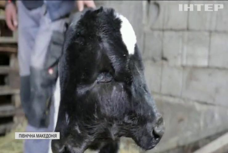 Двоголове теля народилося у Північній Македонії (відео)