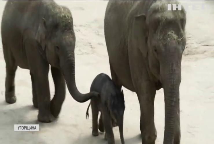 У Будапешті показали новонароджене слоненя