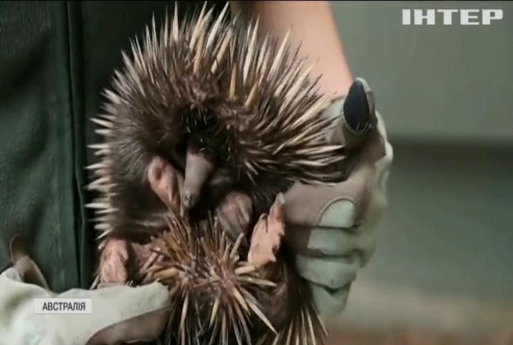 Зоопарк Сіднея поповнився дитинчам рідкісного виду єхидни (відео)