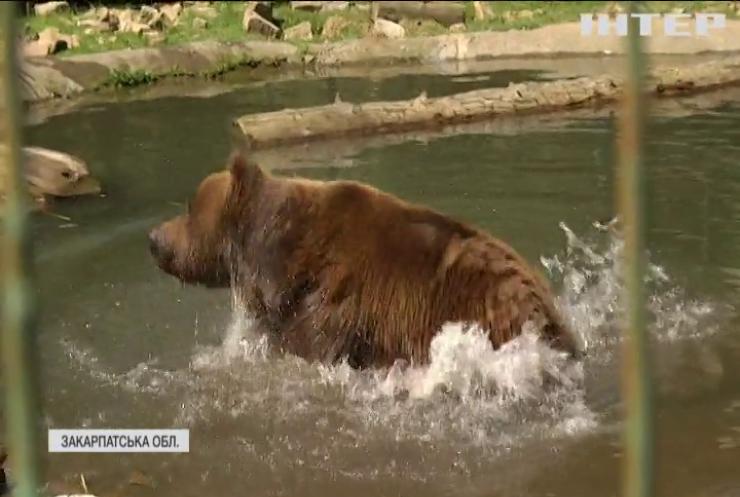 Особливі пацієнти: ведмеді Закарпатського реабілітаційного центру пройшли медичний огляд