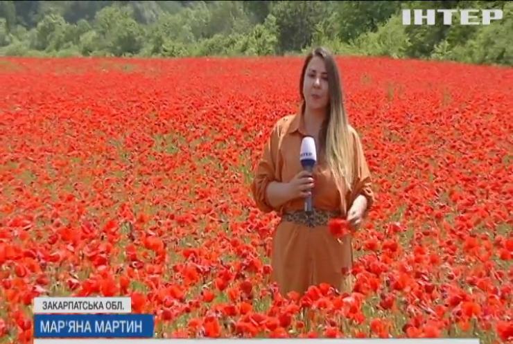 Червоний килим за горизонт: на Закарпатті розквітло поле дикого маку