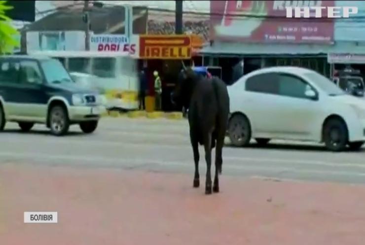 Втекли з-під ножа: у Болівії стадо корів не довезли до бійні