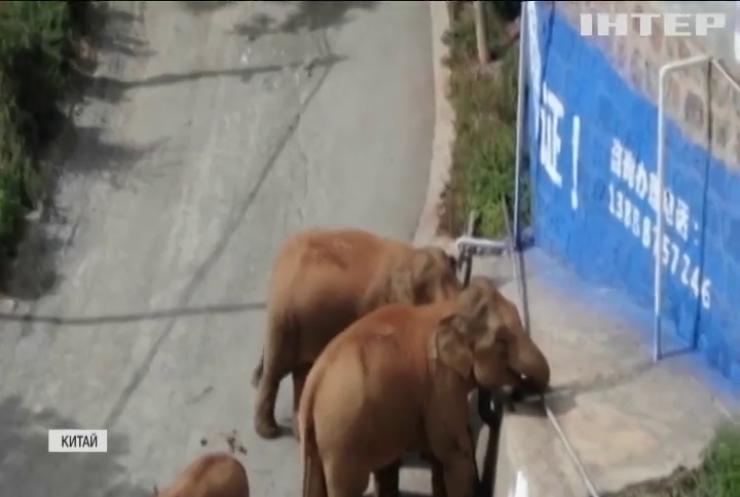 Похід китайських слонів: люди досі гадають куди прямують тварини