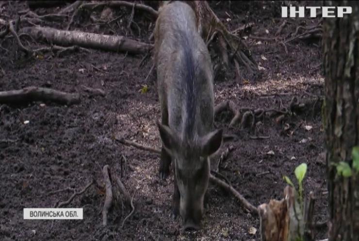На Волині рятують від браконьєрів популяцію диких тварин