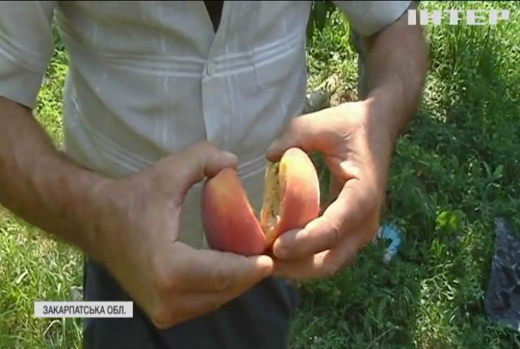 Сезон персиків: скільки коштують смачні фрукти, вирощені на Закарпатті