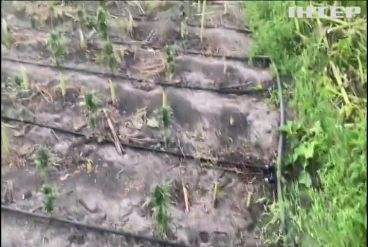 На Кіровоградщині поліція знищила плантацію елітної коноплі