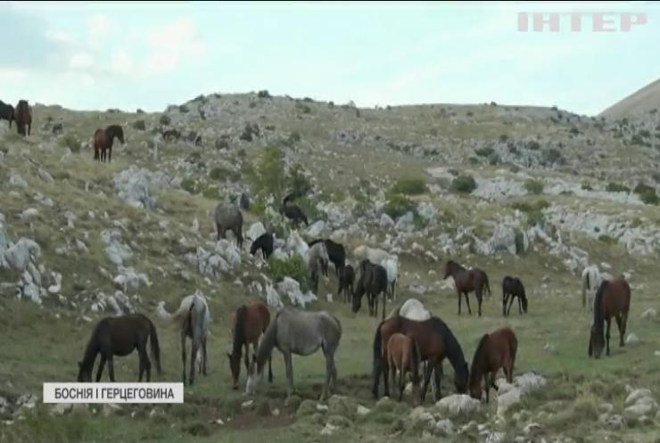 Фермери Боснії відстрілюють диких коней