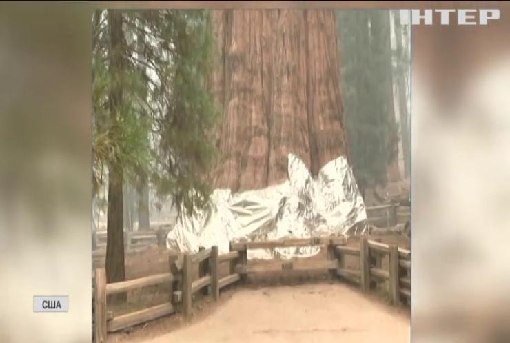 Найстарішим деревам світу загрожує пожежа
