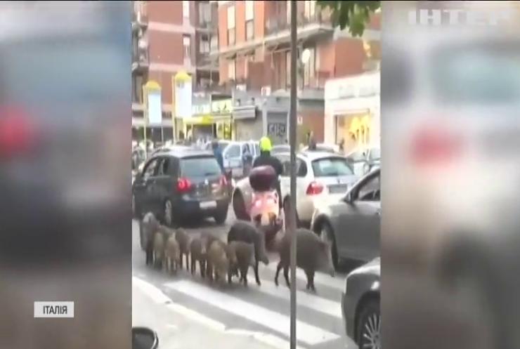 Рим потерпає від нашестя диких кабанів
