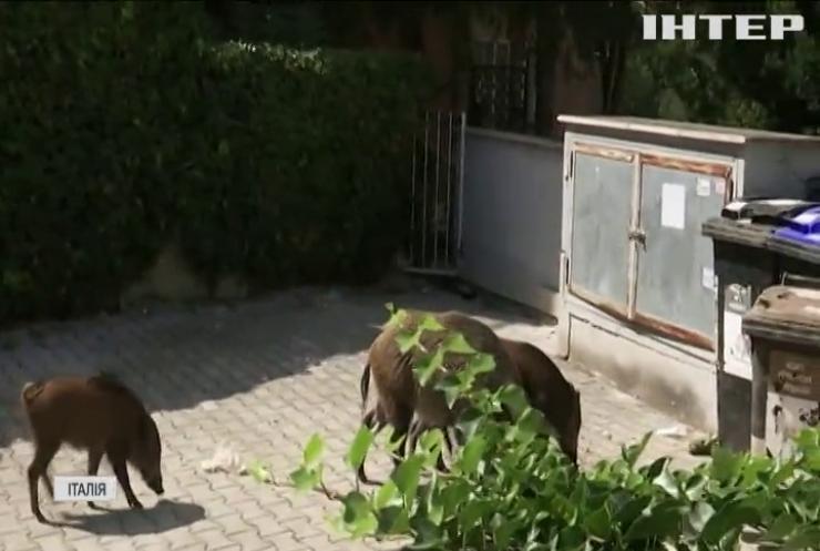 Дикі кабани блукають вулицями Риму