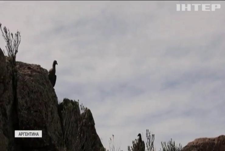 В Аргентині у дику природу випустили сімох андських кондорів