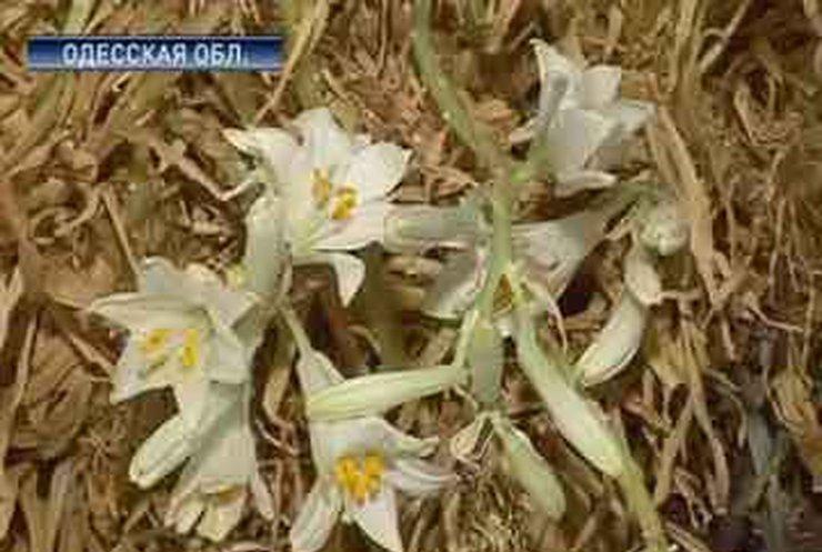 В храме села Кулевча расцвели засохшие лилии