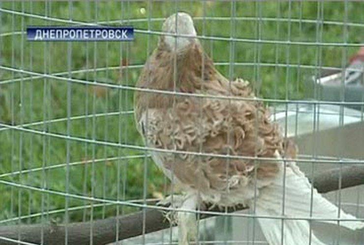 20 тысяч голубей показали на выставке в Днепропетровске