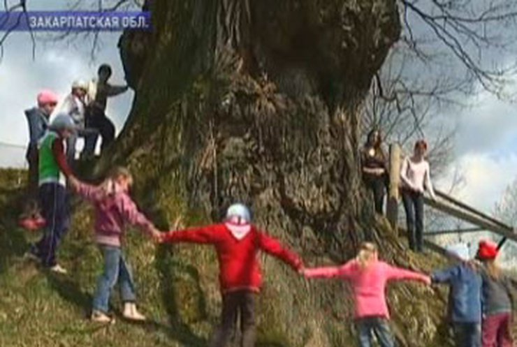 Украина выбирает национальное дерево