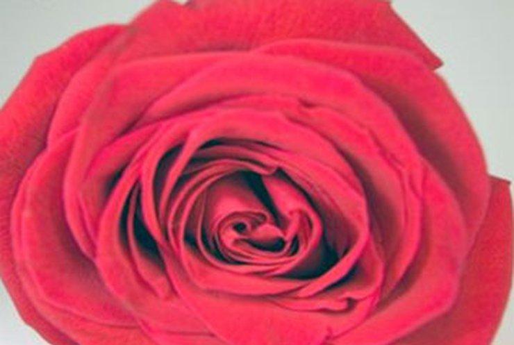 Розы подорожают до 80 гривен за штуку