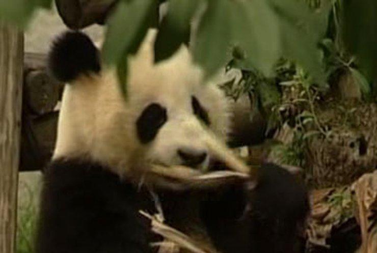 Китайские зоологи перед работой наряжаются в панд