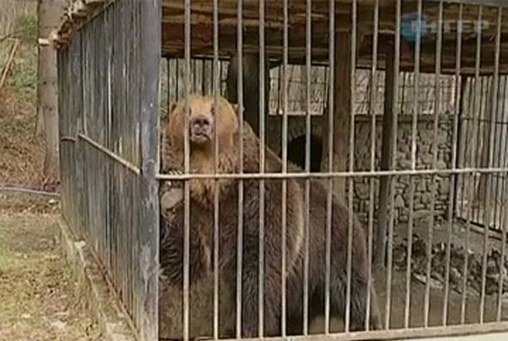 Медведи и волки развлекают туристов в Карпатах