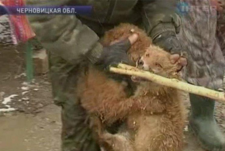 В Черновицкой области прошел конкурс среди собак-охотников на лис