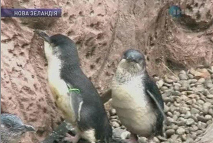 В Новой Зеландии защитники природы спасают пингвинов