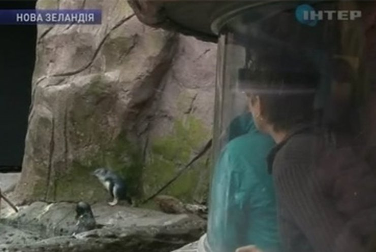 В Новой Зеландии спасают пингвинов