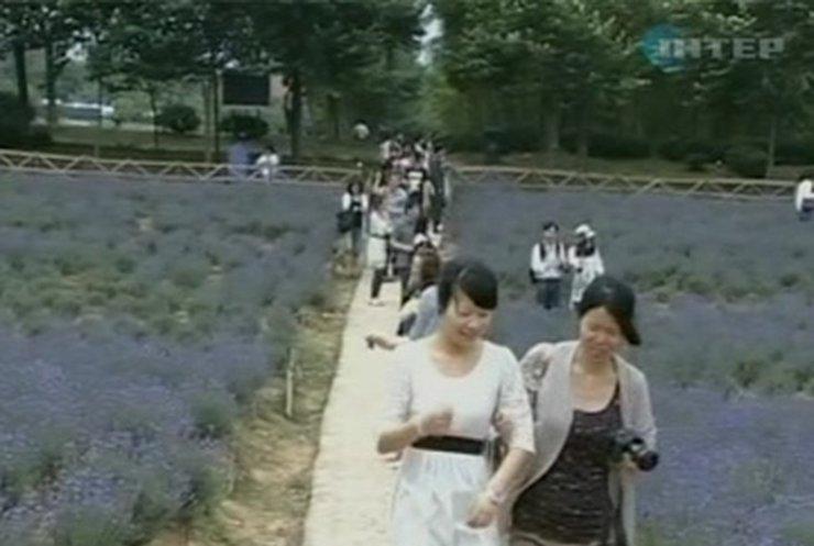 В китайской провинции Жен-Чань расцвели 7 гектаров лаванды