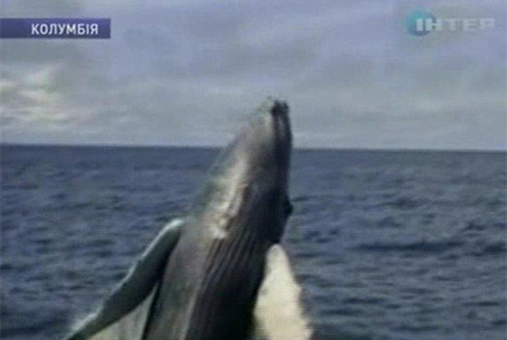 Туристы едут в Колумбию, чтобы посмотреть на любовные игры китов
