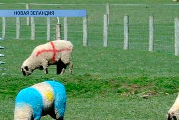 Овец в Новой Зеландии раскрасили в цвета флагов стран-участниц чемпионата по регби