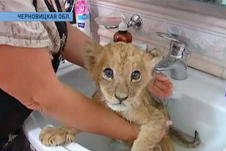 В частном доме Черновцов живут африканские львы