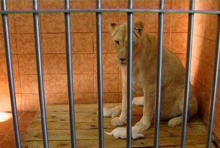 В Белградском зоопарке родились белые львята