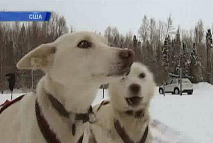 На Аляске готовятся к самой знаменитой гонке на собачьих упряжках