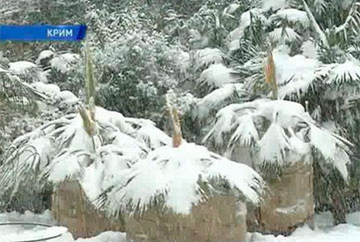 Крымские пальмы пальмы укутали в шубы