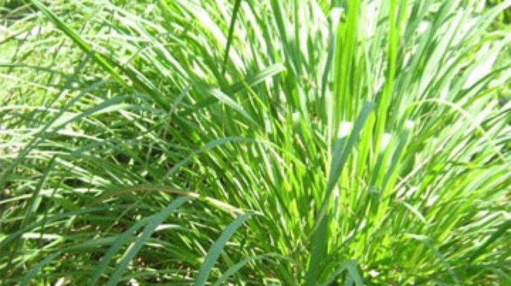 какая трава убивает паразитов в организме