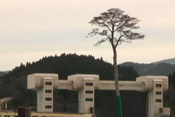 Уцелевшее после цунами дерево станет символом жизни в Японии