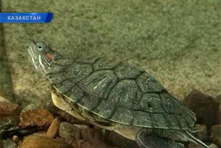 Из Петропавловского ботсада украли 80-летнюю красноухую черепаху
