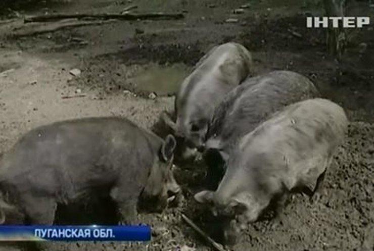 Для борьбы с чумой свиней на Луганщине массово истребляют диких кабанов