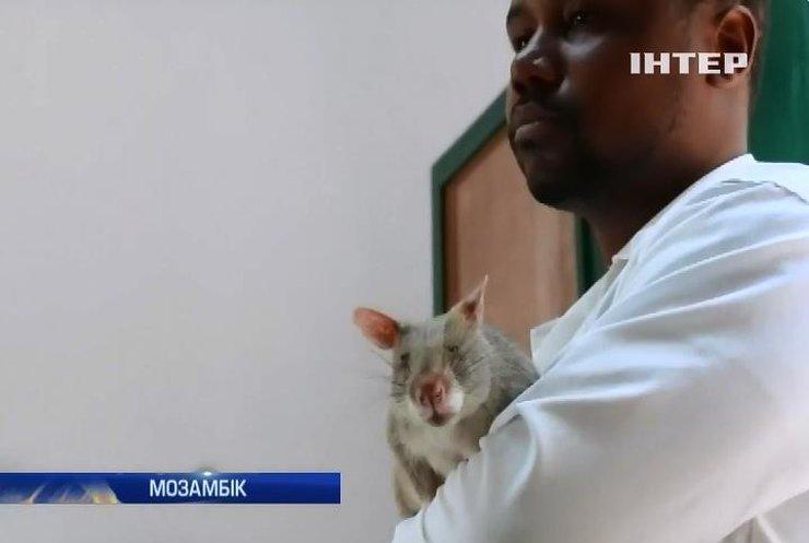 Туберкульоз у Мозамбіку виявляють щури