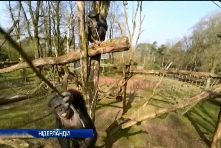 Шимпанзе збило безпілотник у Голандії
