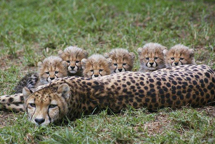 У зоопарку Праги народились гепардики (відео)