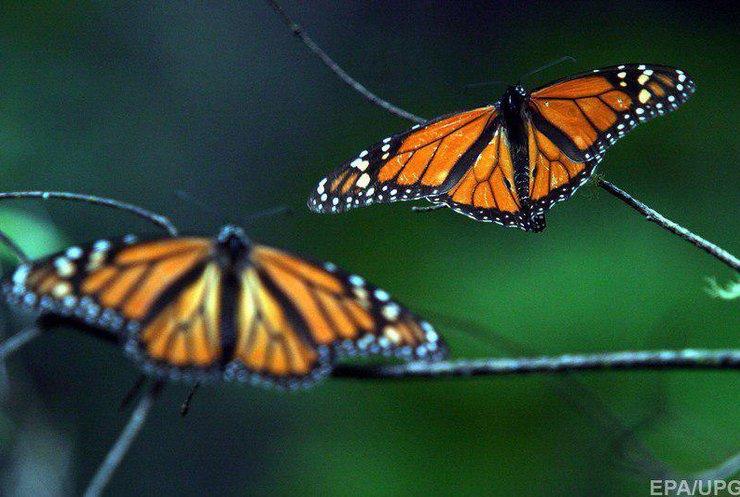 """У Мексиці поменшало метеликів """"Монарх"""""""