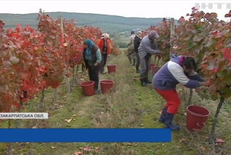 На Закарпатті б'ють на сполох: українське виноробство може зникнути