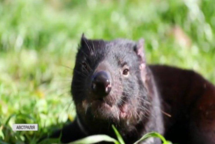 У Австралії науковці випустили тасманійських дияволів
