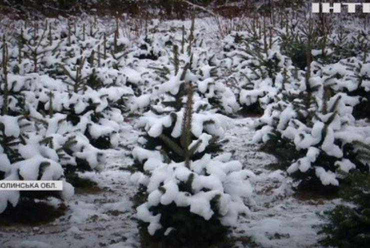 На Волині вирубують ялини: скільки коштує новорічне деревце?